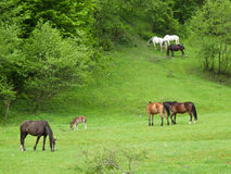 Horses. Herd on green field royalty free stock photography
