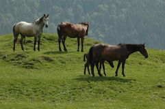 Horses. European horses in the mountain Royalty Free Stock Photo