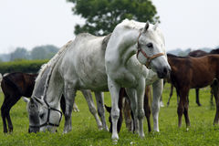 Horses. Big horses on the paddock Stock Photos
