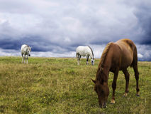 Horses. Two white and one brown horses graze on the green lawn Royalty Free Stock Photo