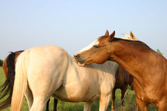 Horses. Fat sorrel ranch gelding grooming palomino horse across the fence Royalty Free Stock Photos