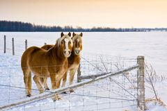 Horses. Two horses standing side by side on a cold winter day Stock Image