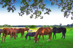 Horses. Herd of horses on green pasture Royalty Free Stock Images