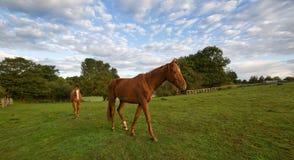 Horses. Walking horses on a farm stock photo
