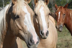 Horses. A close-up of three horses standing in a field royalty free stock photography