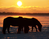 Horses. At dusk one winter day on a huge nature reserve Royalty Free Stock Photo