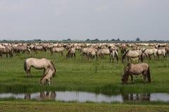 Horses. Konik horses at the netherlands Royalty Free Stock Photos