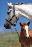 Horses. Horse, a herd of horses, horse with foal Royalty Free Stock Photo