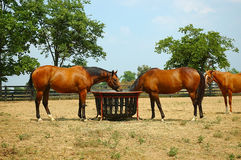 Horses. Eating at the trough in the corral on the farm royalty free stock photos