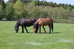 Horses 2. A pair of horses grazing Royalty Free Stock Photo