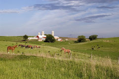 Horses 2. A pixture od a Wisconsin dairy farm with cattle and horses in the pasture Royalty Free Stock Photography