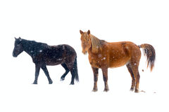 Horses. Isolated isolated on white Royalty Free Stock Images
