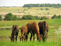 Horses. Four horses in a meadow Royalty Free Stock Images