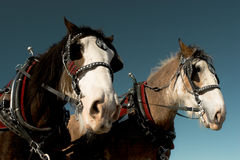 Horses. Two harnessed horses, against clear sky royalty free stock photo