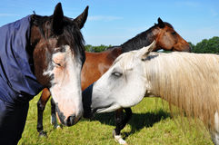 Horses. Two horses nuzzling each other on a beautiful summer day Royalty Free Stock Photos