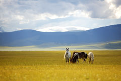 Horses. Grazing in a steppe Royalty Free Stock Image