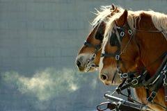 Horses. Heavy horses in winter pulling a haywagon royalty free stock photography