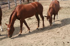 Horses. Two horses walking freely in the ring Royalty Free Stock Photography