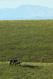 Horses. On greenfield with blu sky in umbria, italy Stock Image