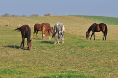 Horses. Beautiful horses in the meadow stock photo