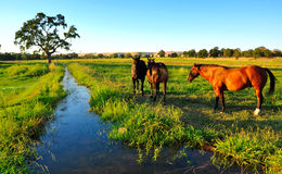 Horses. Grazing by a creek Stock Images