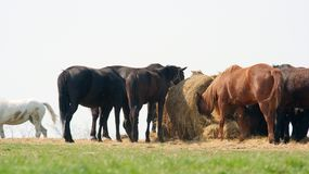 Horses. Many horses eating at a big pile Stock Image