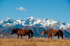The horses. In autumn in the highland pasture Stock Image