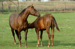 Horses. A beautiful female brown wild horse with foal, with cute expression in the face, standing and watching other horses on a paddock of a farm outdoors stock photography