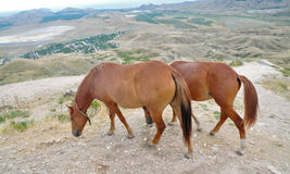 Horses. Beautiful brown horses against mountains Royalty Free Stock Photography