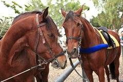 Horses. Two beautiful horses looking each other Royalty Free Stock Photography