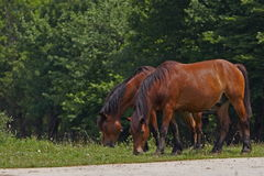 Horses. Two Grazing Brown Horses on the Field Royalty Free Stock Photos