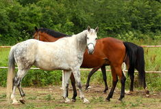Horses. Walking outdoor with green forest background royalty free stock images