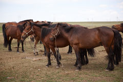 Horses. A team of horses at rest, Inner Mongolia Stock Images