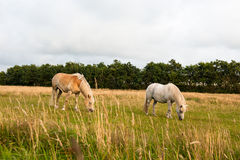 Horses. A couple of horses in a meadow in Denmark Royalty Free Stock Photo