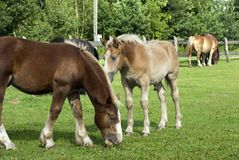 Horses. On a large fenced paddock Royalty Free Stock Image