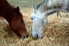 Horses. Eating Stock Photos