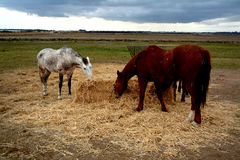 Horses. Eating Stock Images