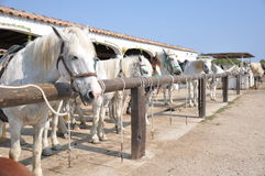 Horses. Waiting horses i an row Royalty Free Stock Photo