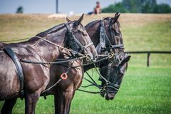 Horses. Three horses standing under the hot sun Stock Photography