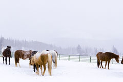 Horses Royalty Free Stock Photos