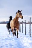 Horses. Light-bay and black horses at winter Stock Image