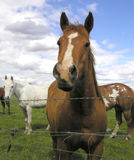 Horses 3. Each of these horses came over to say hello and pose for me when I stopped by their pasture with my camera. Taken on the Muckleshoot Indian Reservation Stock Images