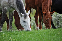 Horses 3 Stock Photography
