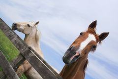 Horses. Enjoying a summers day Royalty Free Stock Images