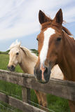 Horses. Enjoying a summers day Stock Photography