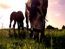 Horses. Staying on the meadow Stock Photography