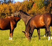 Horses. 3 horses on green meadow Royalty Free Stock Image