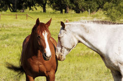 Horses. A pair of horses in a pasture Stock Photo