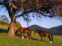 Horses. Taking rest under the tree Stock Photos