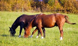 Horses. Taking rest on green meadow Royalty Free Stock Image